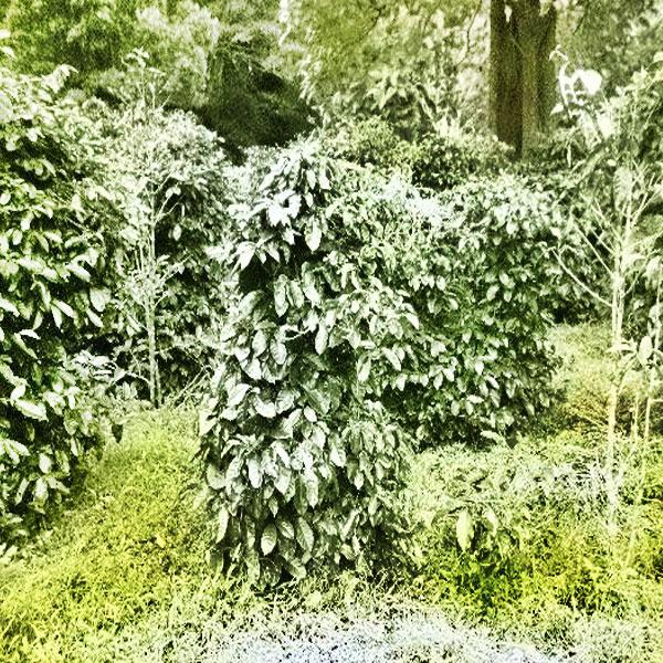 El inicio del cultivo de café en Volcán